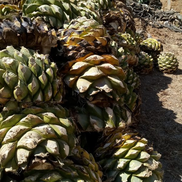 """""""Piñas"""" of agaves ready to be cooked"""