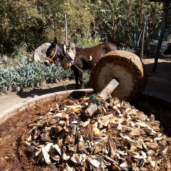 Mule pulling the mill stone, grinding up the agave