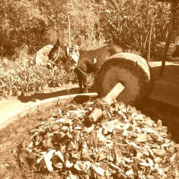 Mule pulling the mill stone, grinding up the cooked agave